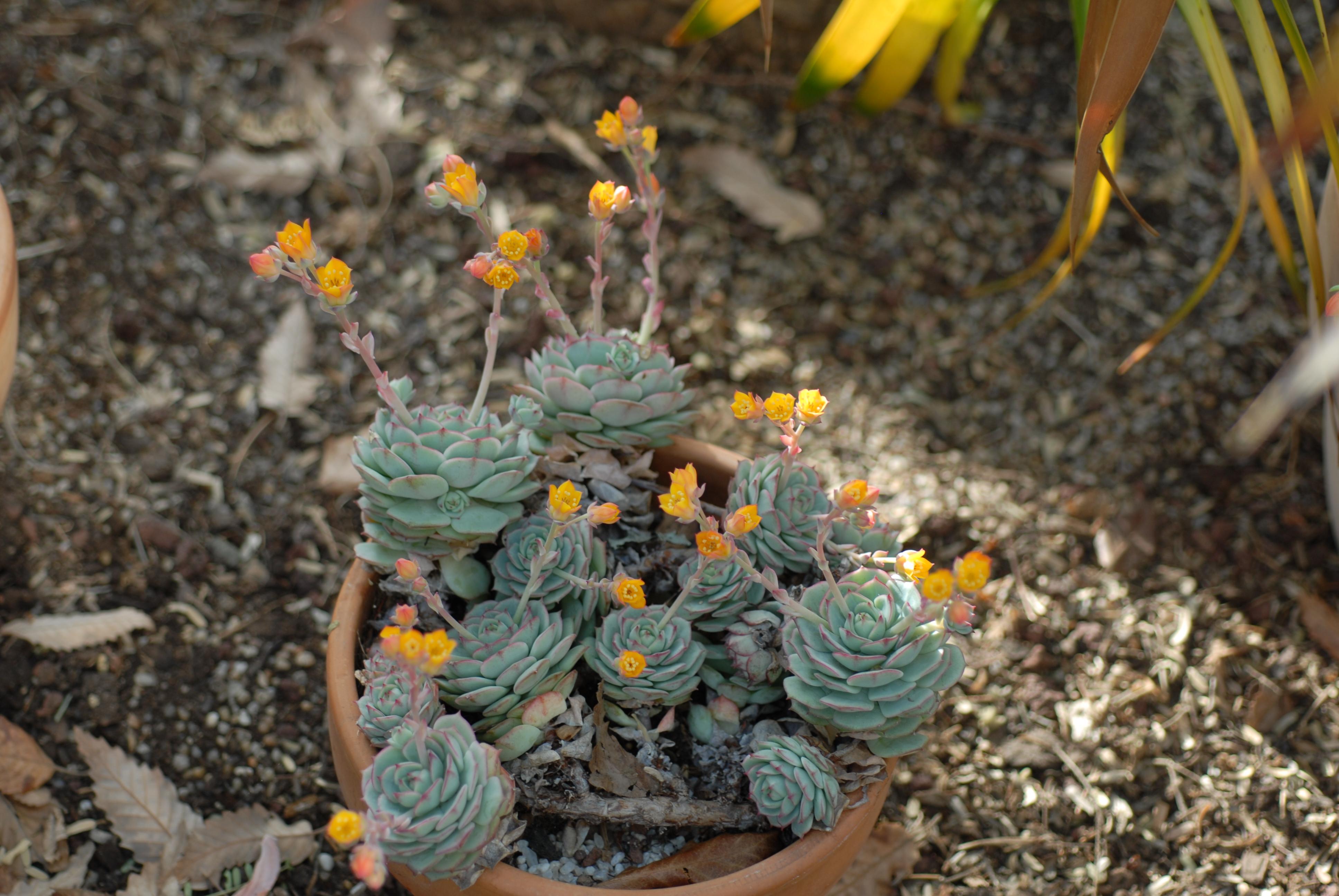echeveria_crassulaceae
